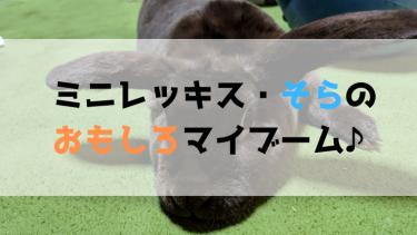 【うさぎの飼育】人懐っこすぎるミニレッキスのマイブーム!!