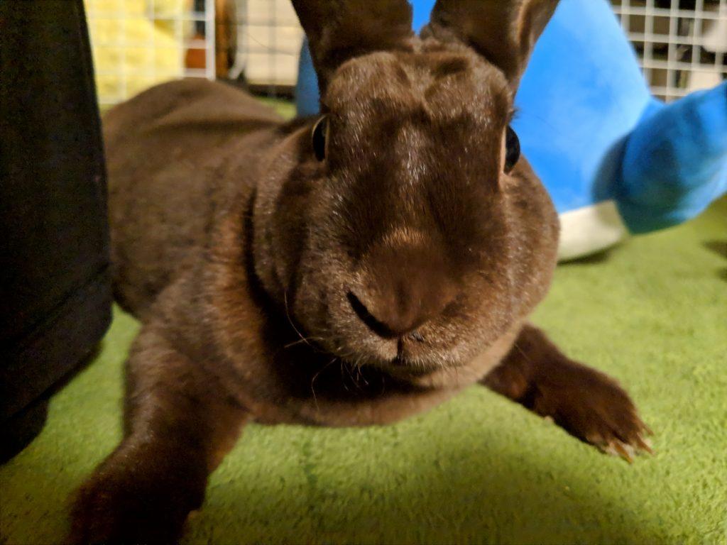 ミニレッキス うさぎ rabbit bunny