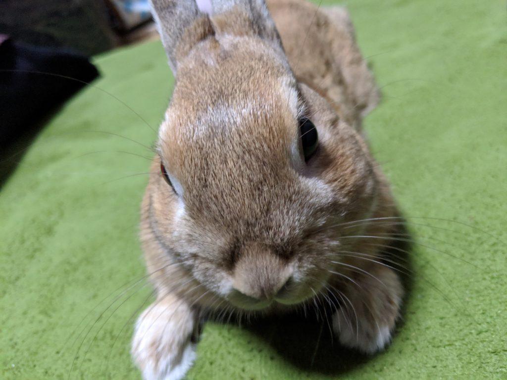 ネザーランドドワーフ うさぎ rabbit bunny